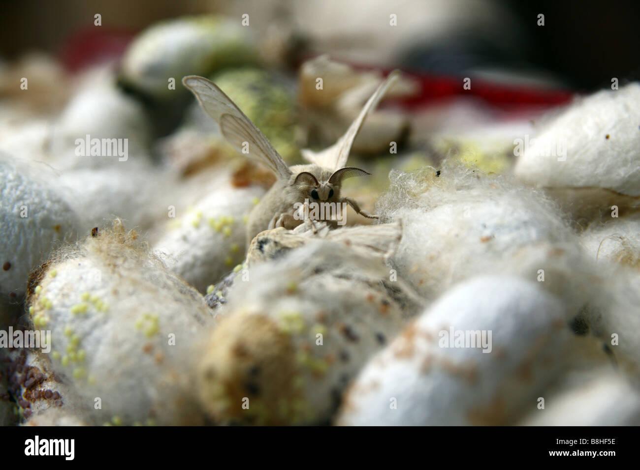 Close-up. Silk cocoons pupas of silkworm moth Bombyx mori silkwood. Dalat, Vietnam - Stock Image