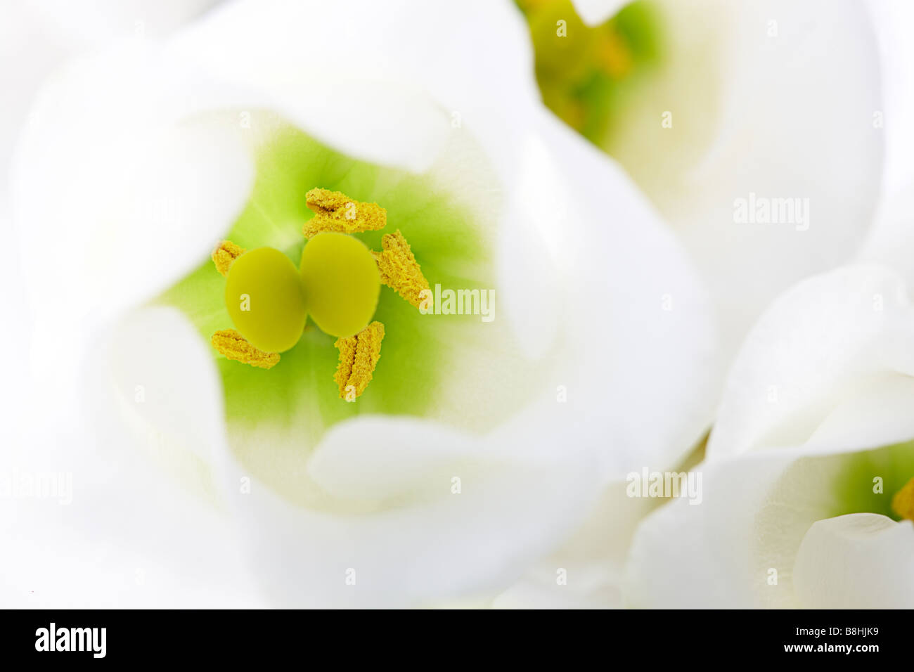 close up of white Lisianthus - Stock Image