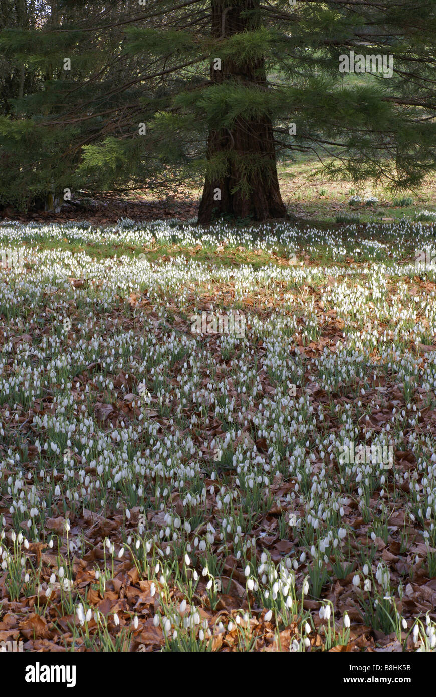 snowdrops in parkland among fallen autumn leaves with conifer tree in background - Stock Image