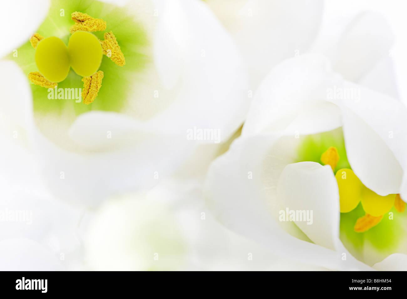 close up of white Lisianthus - Stock Image