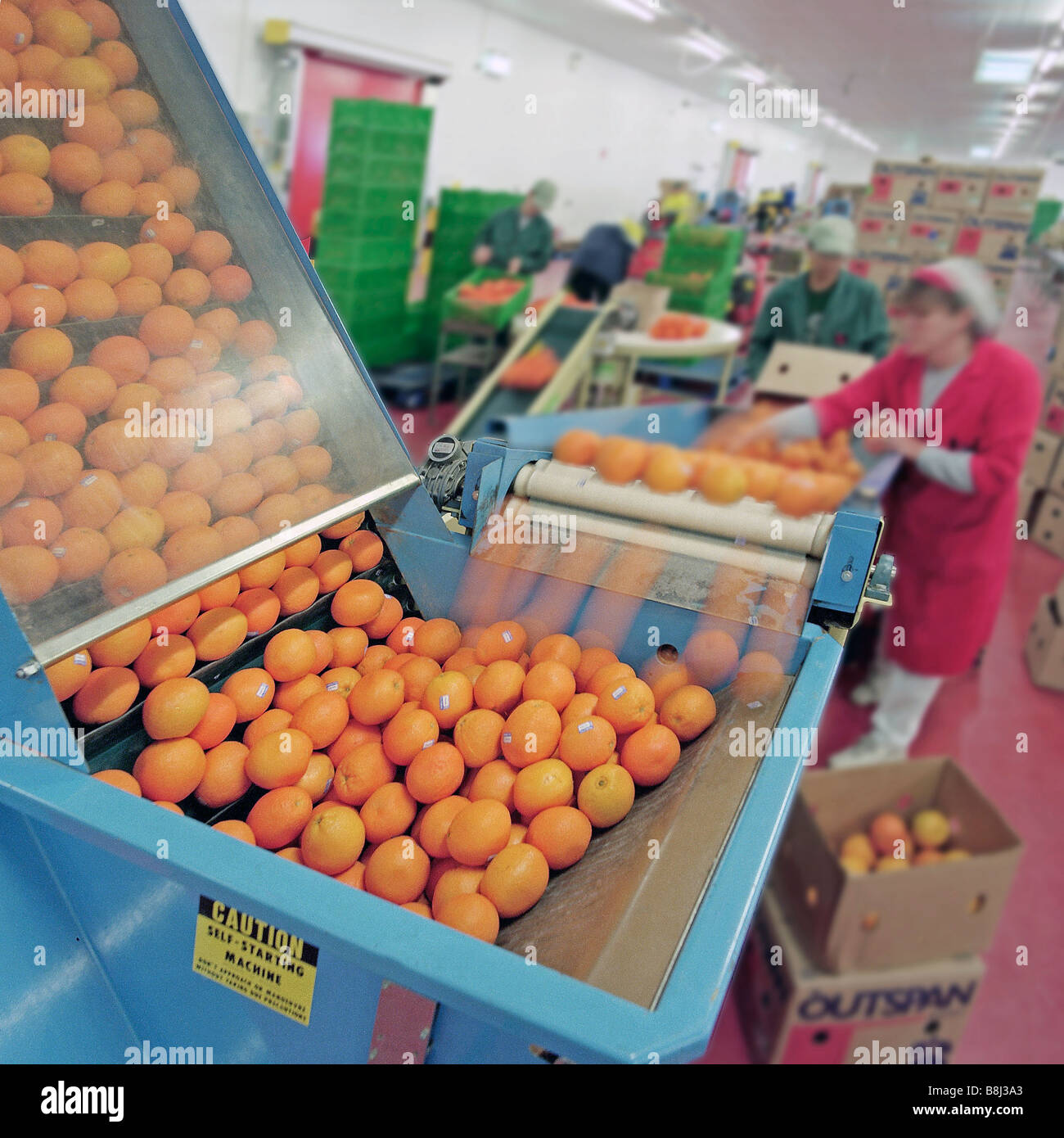 Imported fruit is passed along a production line in a factory to be packaged for retail distribution. - Stock Image