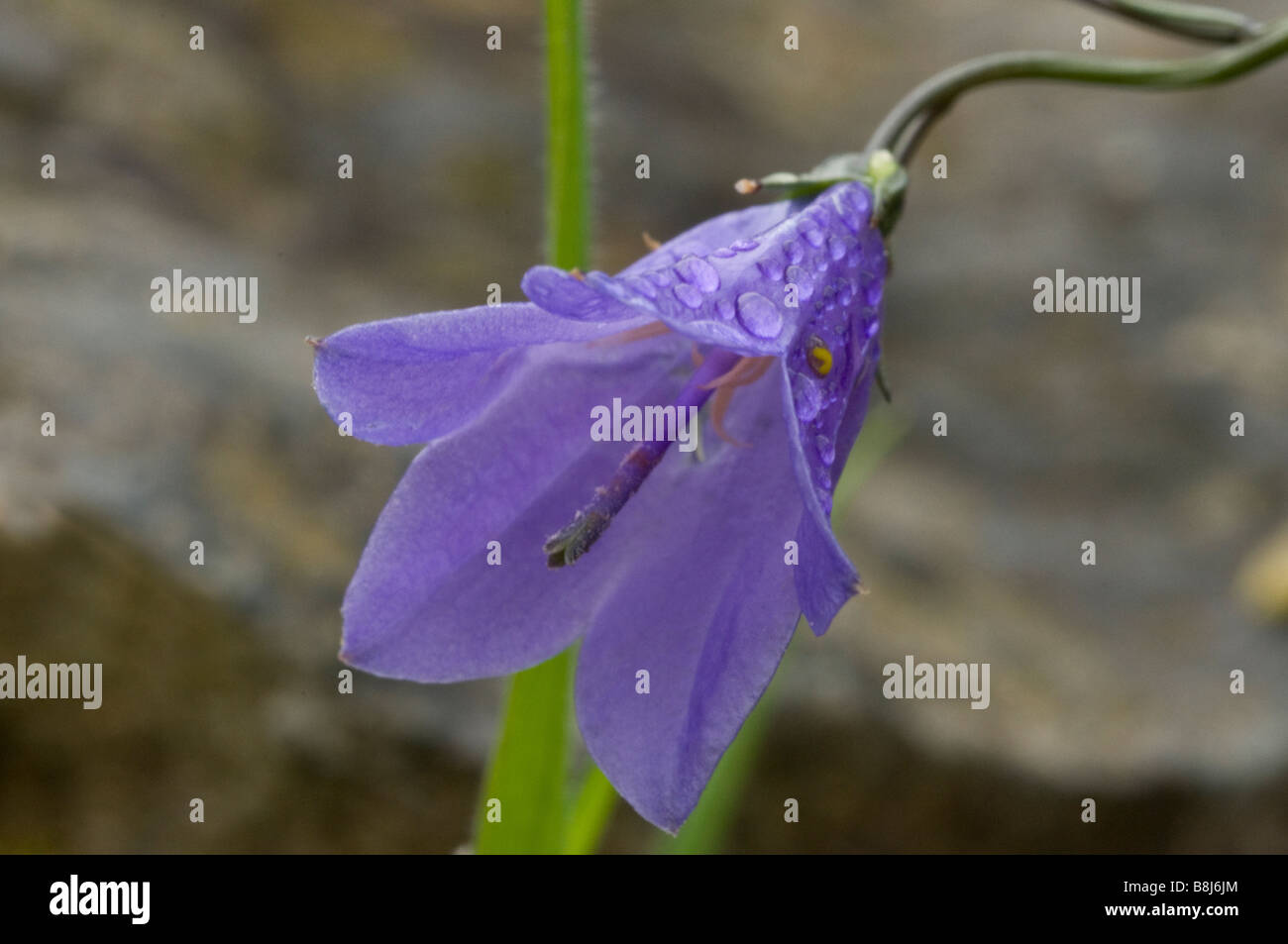 Harebell Flower Close up with raindrops on the petals - Stock Image