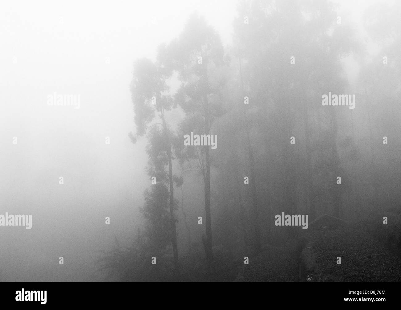 Eucalyptus trees in mist shot from train in Sri Lanka. Black ansd white Stock Photo