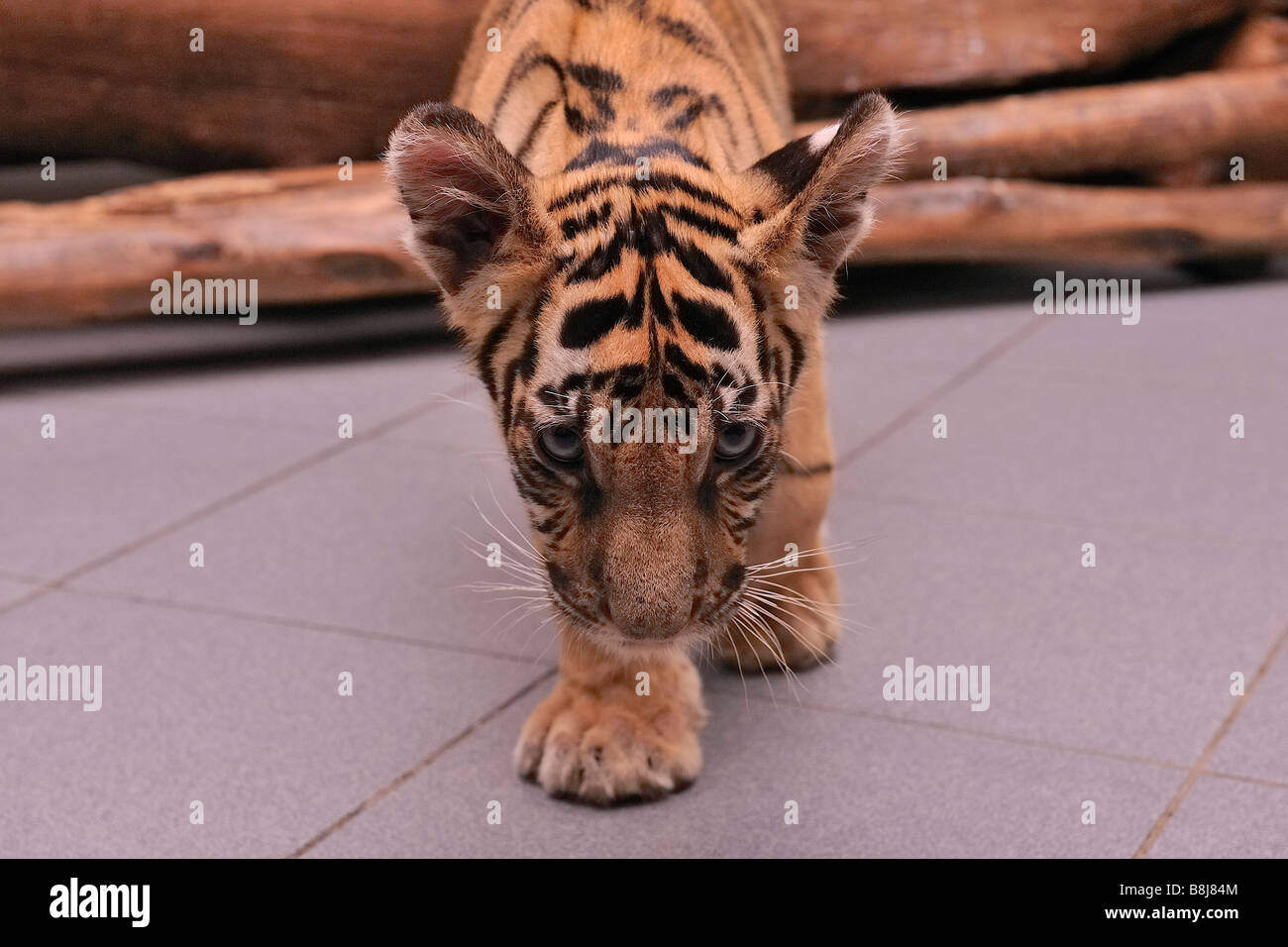 Zoo animal cute tiger cub bengal tiger stock photos zoo animal cute bengal tiger cub stock image thecheapjerseys Image collections