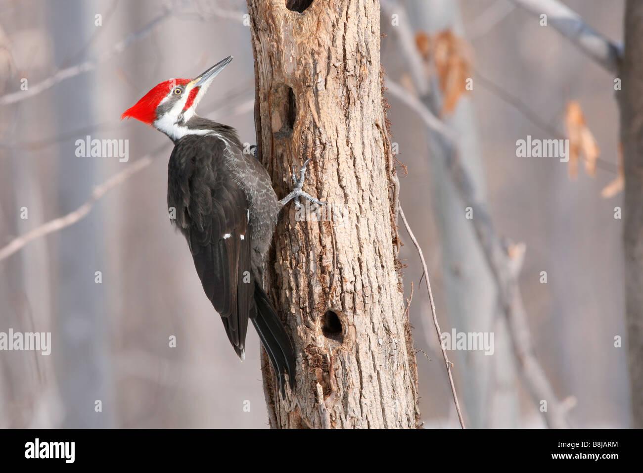 Pileated Woodpecker - Stock Image
