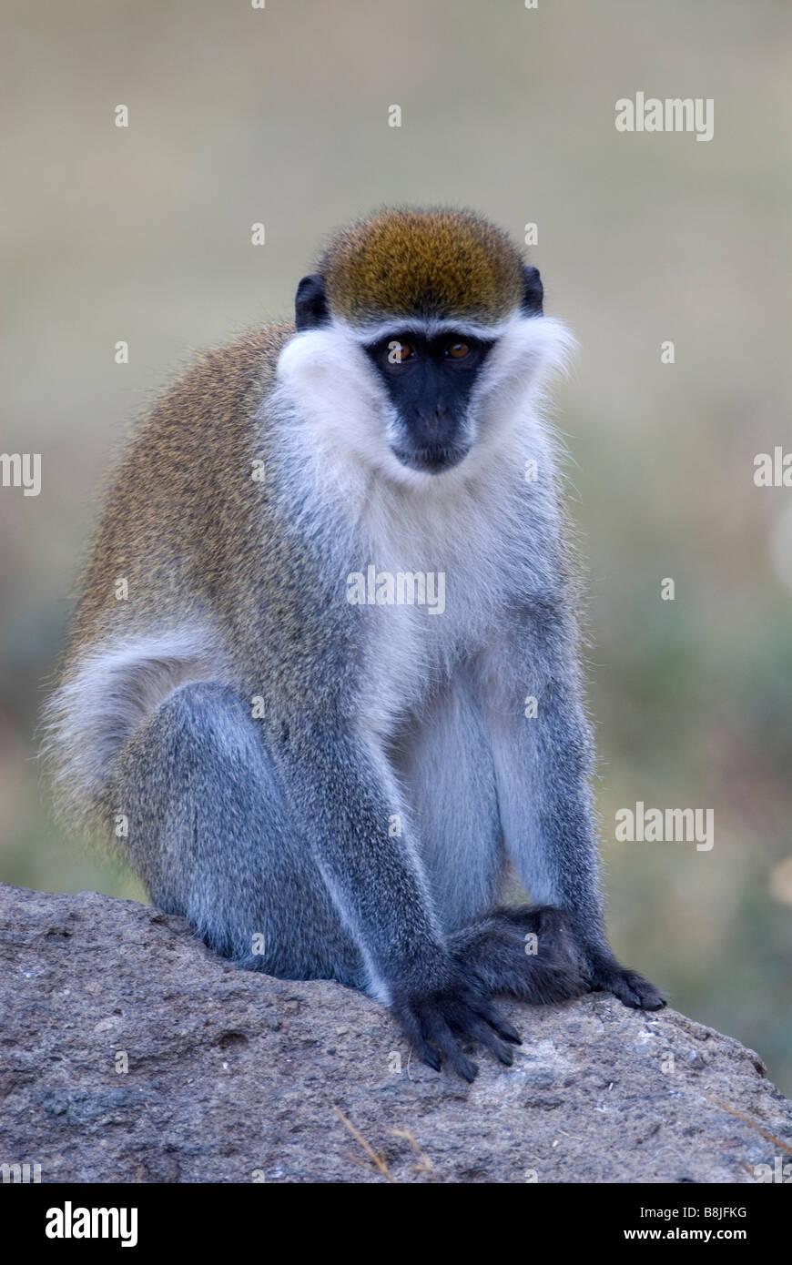 Vervet Monkey Chlorocebus pygerythrus Lake Awasa Ethiopia - Stock Image