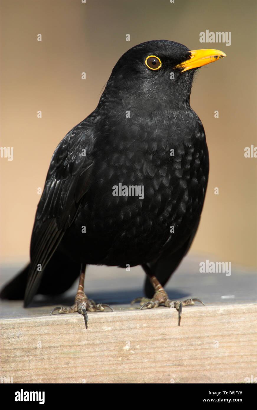 Blackbird Turdus merula male garden Kent UK - Stock Image