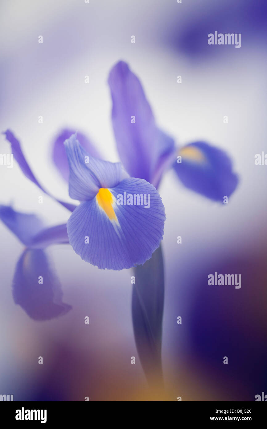 Studio still life floral July Blue violet Iris Iridaceae flower close up softly diffused - Stock Image