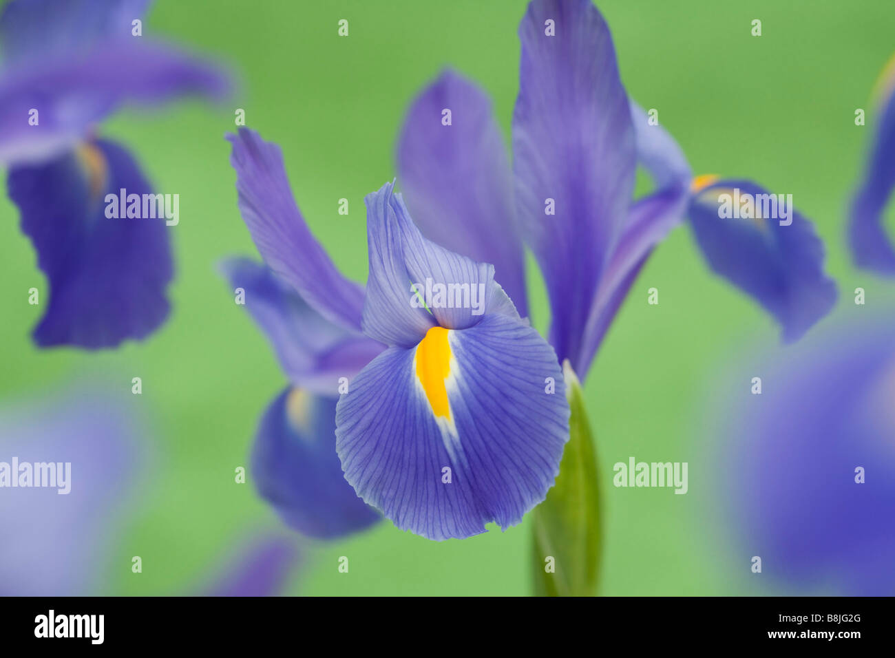 July Blue violet Iris flower Iridaceae flowers close up on a plain green background - Stock Image
