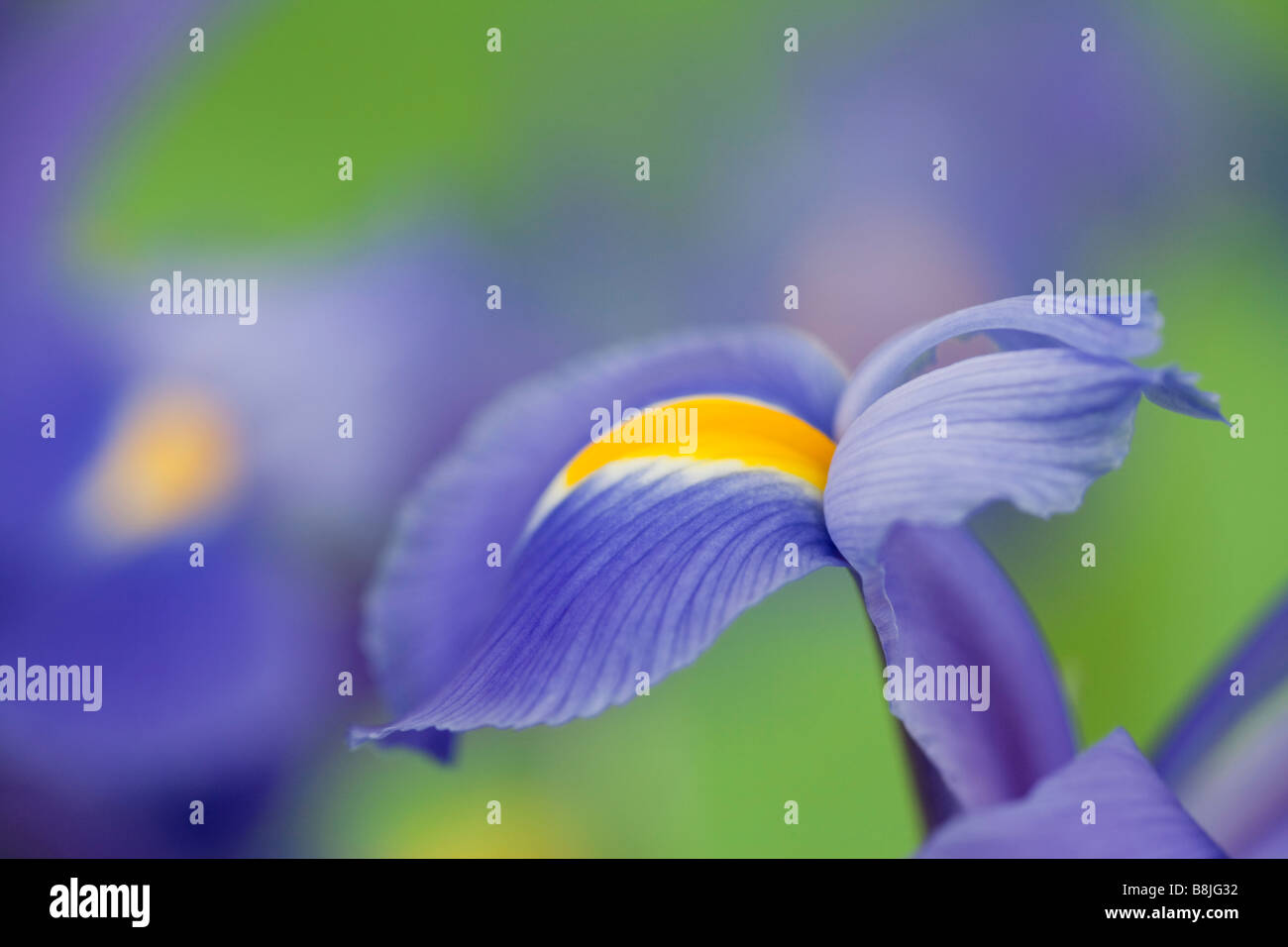 Blue violet Iris Iridaceae flowers close up on a plain green background - Stock Image