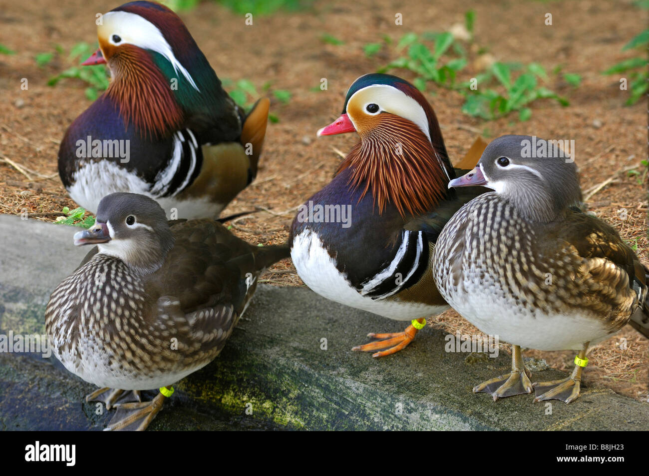 Male and female Mandarin Ducks, Aix galericulata - Stock Image