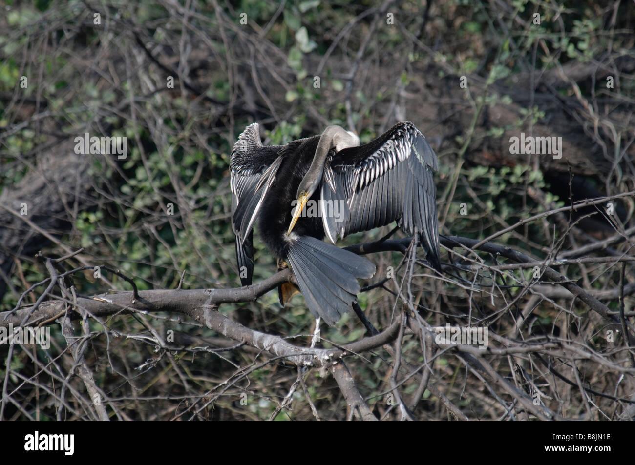Darter Anhinga melanogaster drying wings - Stock Image