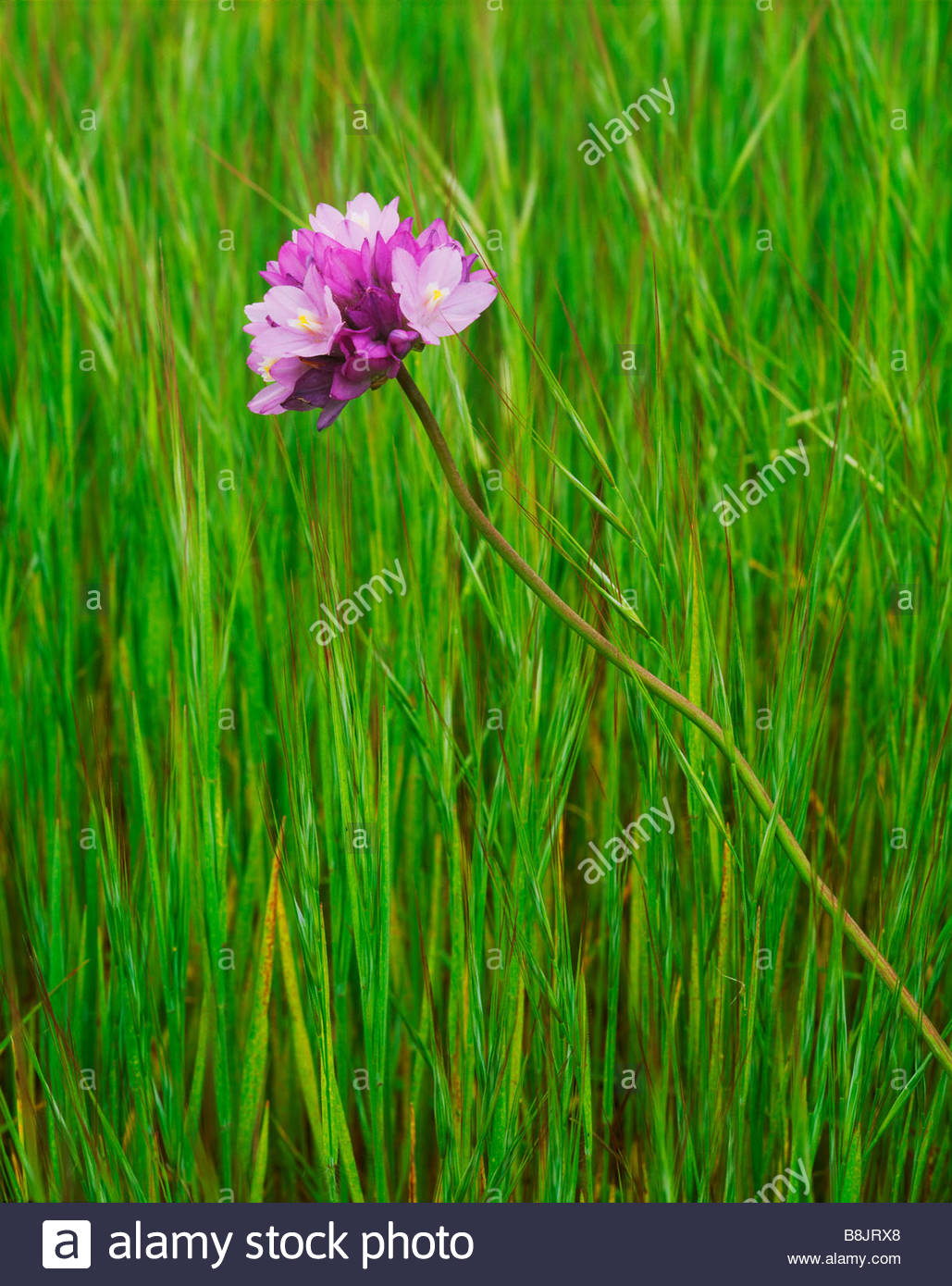 Wild onion, San Miguel Island Channel Islands National Park California - Stock Image
