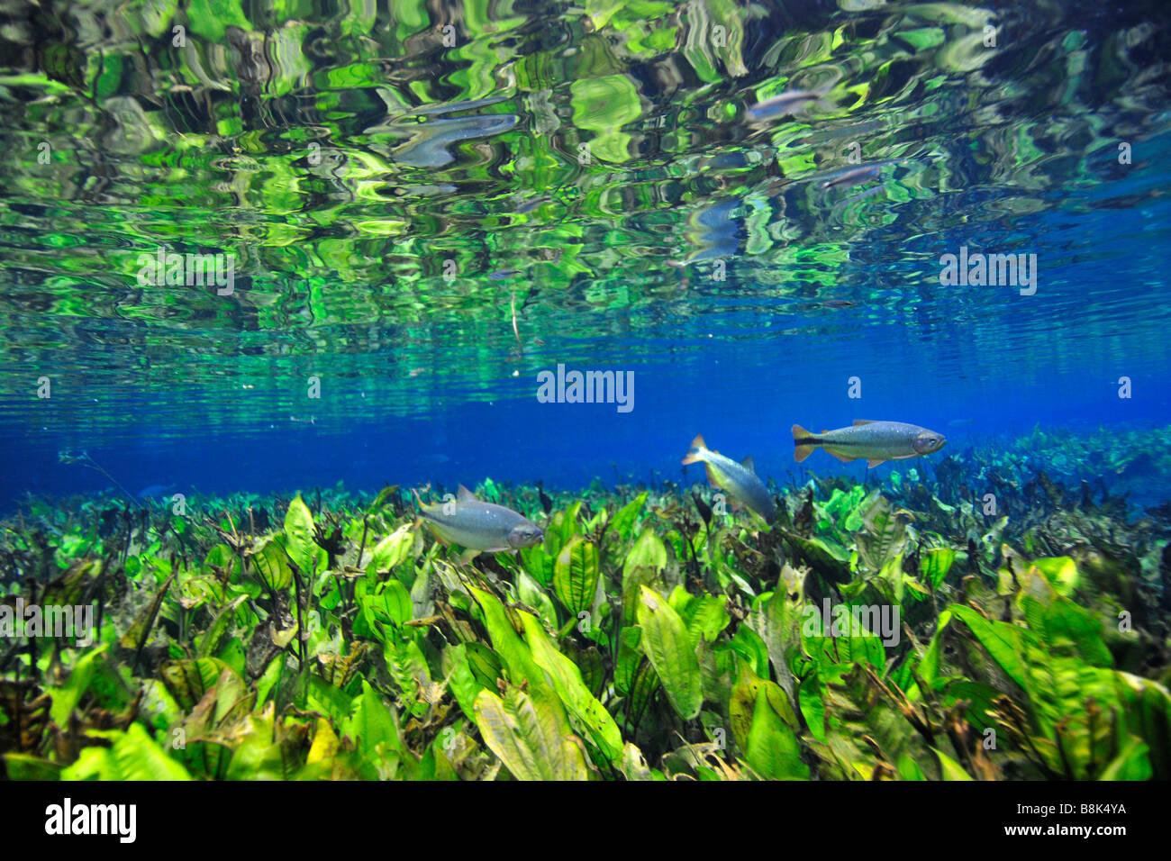 Characins or piraputangas Brycon hilarii swim by Baia Bonita river Aquario Natural Bonito Mato Grosso do Sul Brazil - Stock Image