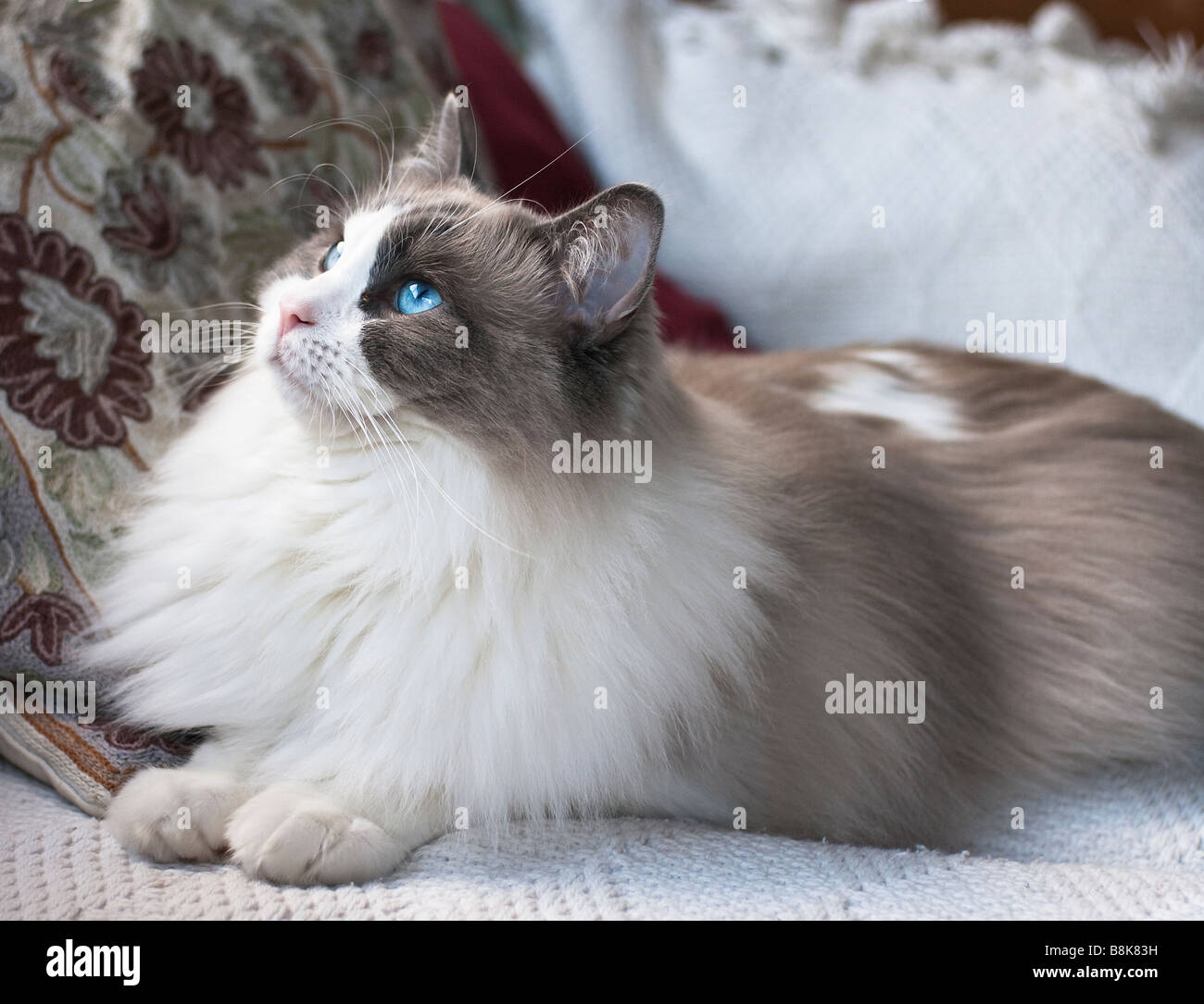 Young male Ragdoll cat with blue eyes - Stock Image