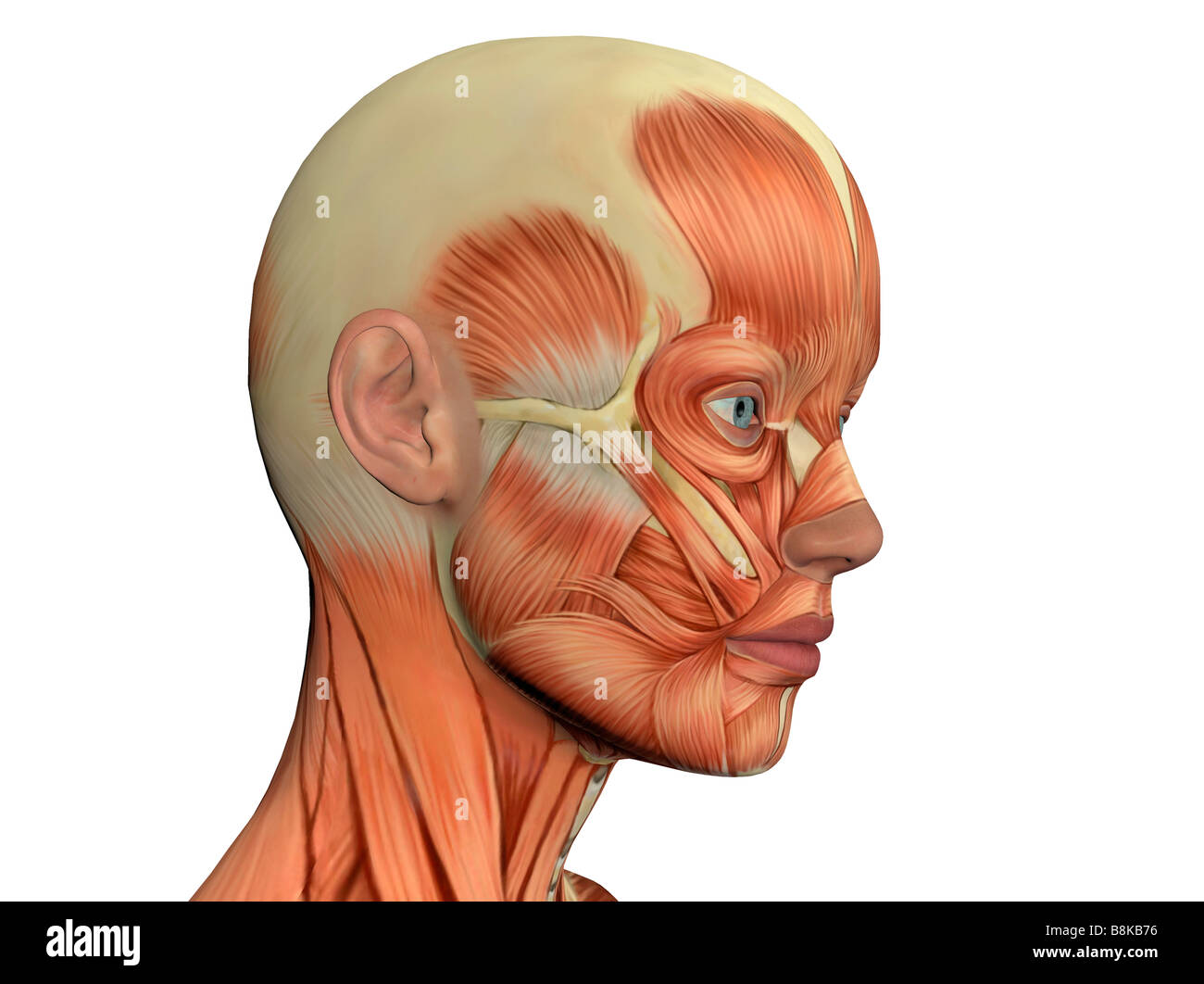 Female Facial Muscles Illustration Stock Photos & Female Facial ...