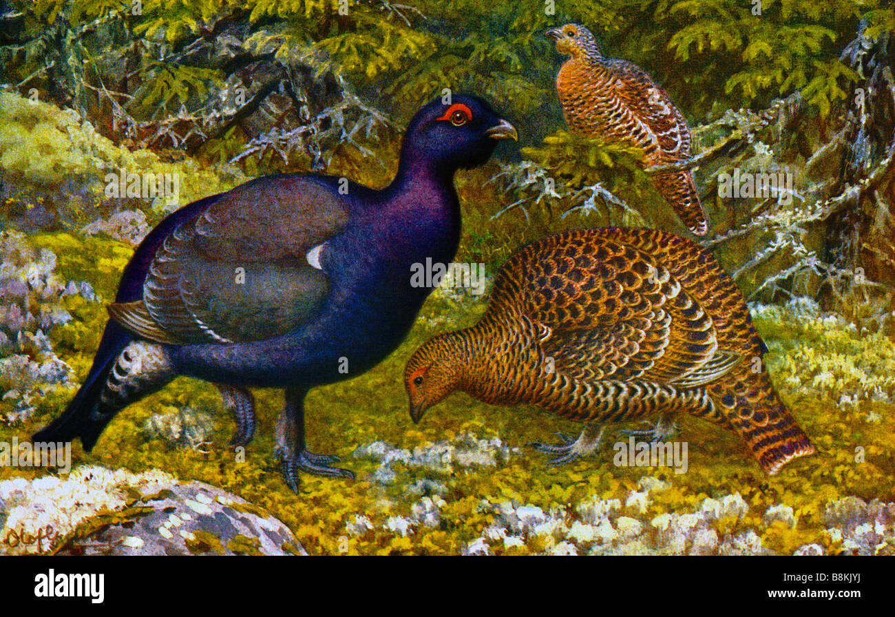 Black grouse,Tetrao tetrix, illustrated by Nils Tirén (1885-1935) - Stock Image