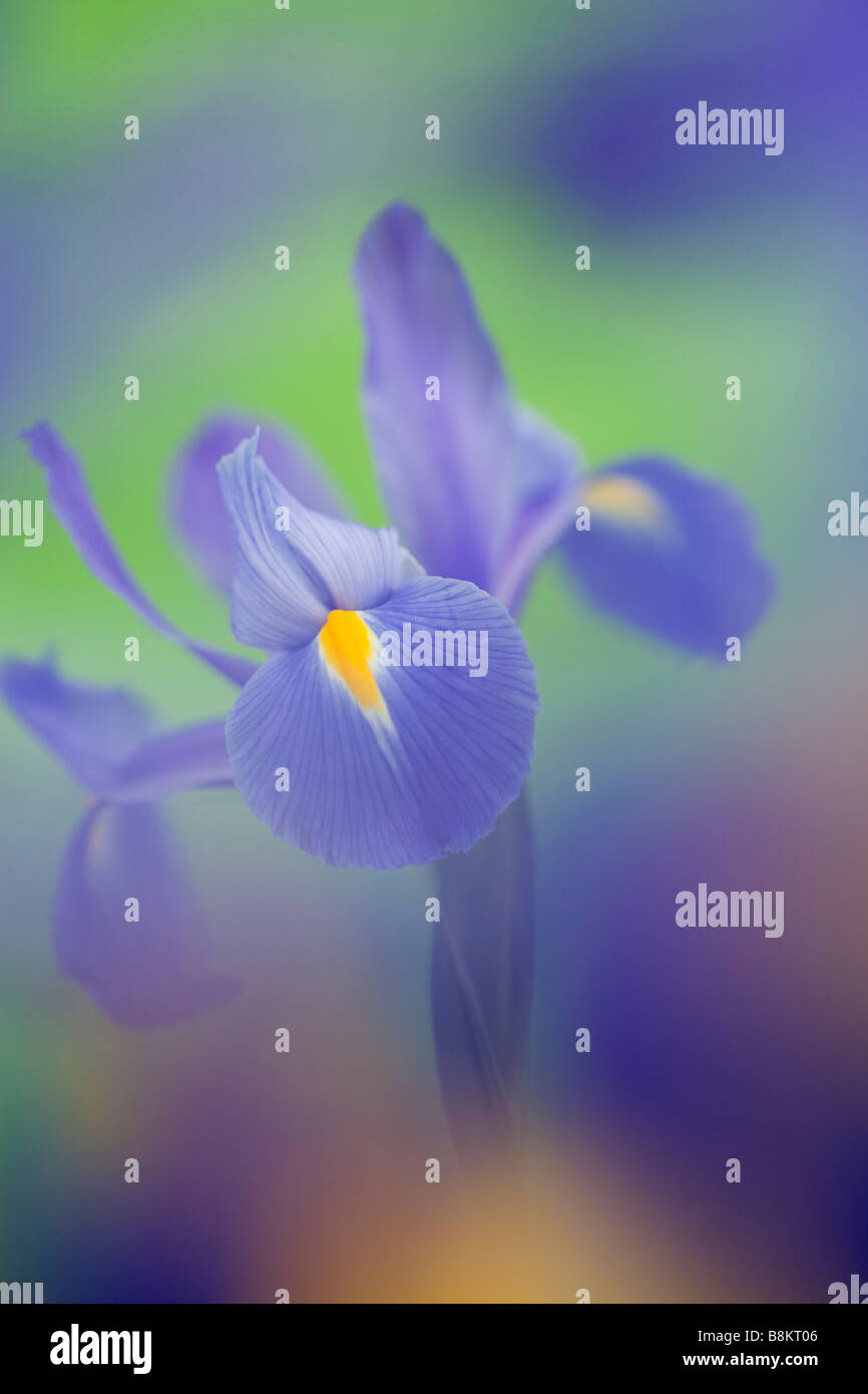 Studio still life floral July Blue-violet Iris Iridaceae flower close up softly diffused - Stock Image