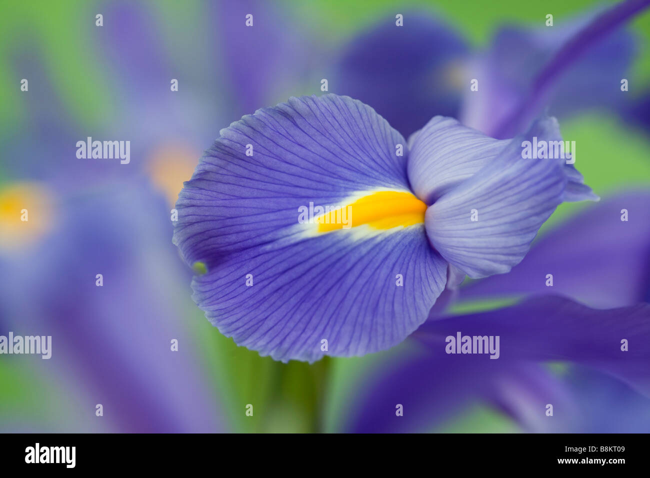Studio still life floral July Blue-violet Iris Iridaceae flowers close-up softly diffused - Stock Image