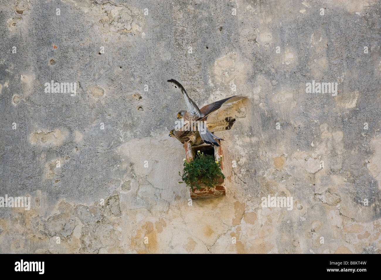 Lesser kestrels mating tarifa southern spain - Stock Image