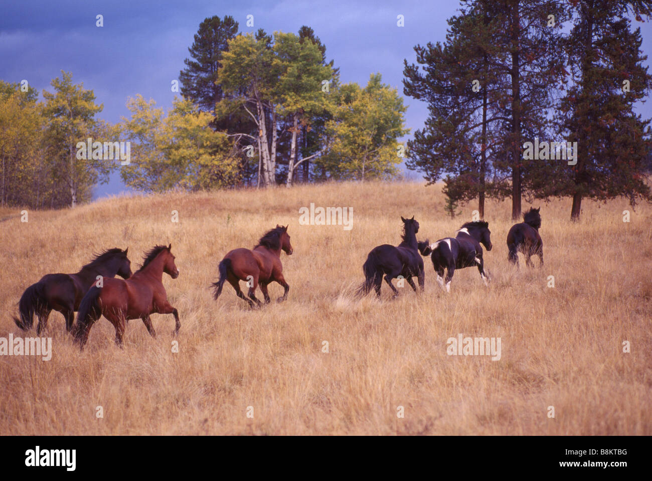 A Herd Of Free Roaming Wild Horses Running On Ranchland At A Ranch Stock Photo Alamy