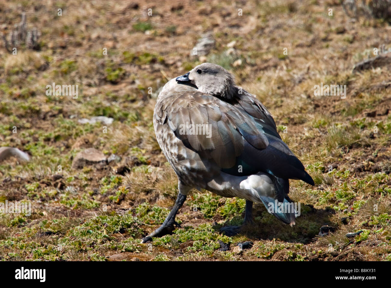 Blue-winged Goose (Cyanochen cyanopterus) endemic to Ethiopia, Africa - Stock Image