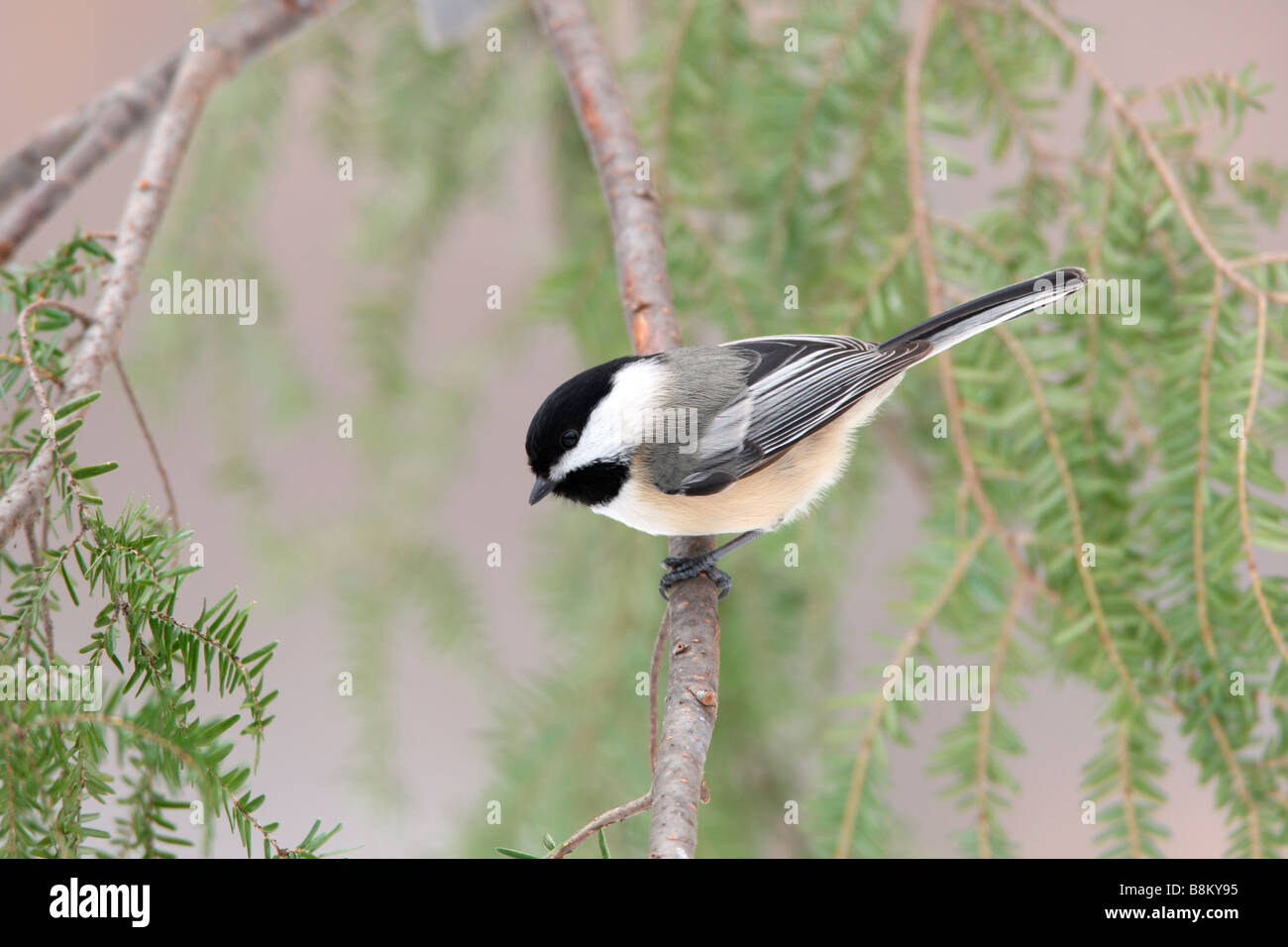 Black capped Chickadee - Stock Image