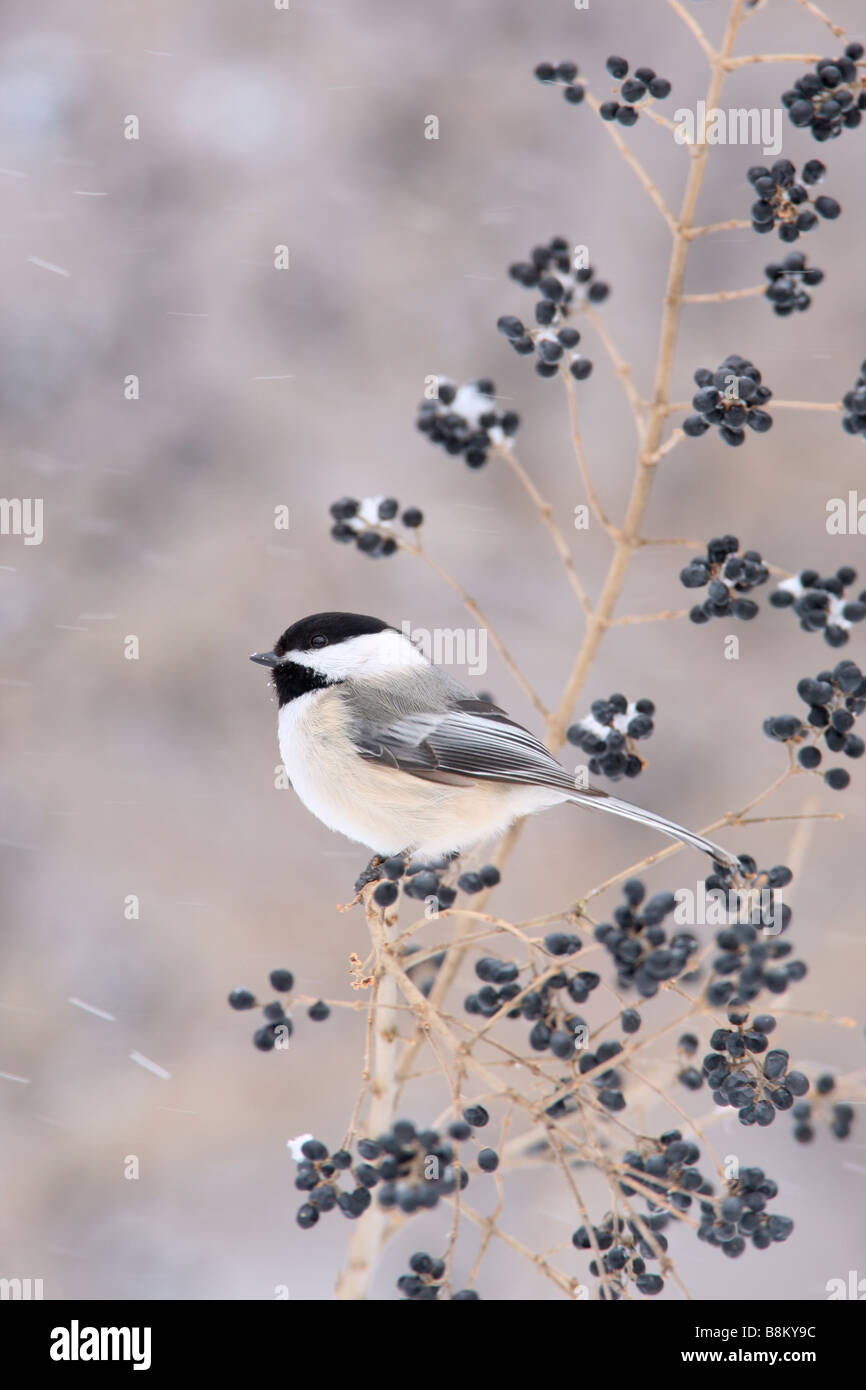 Black capped Chickadee Perched in Privet - Vertical - Stock Image