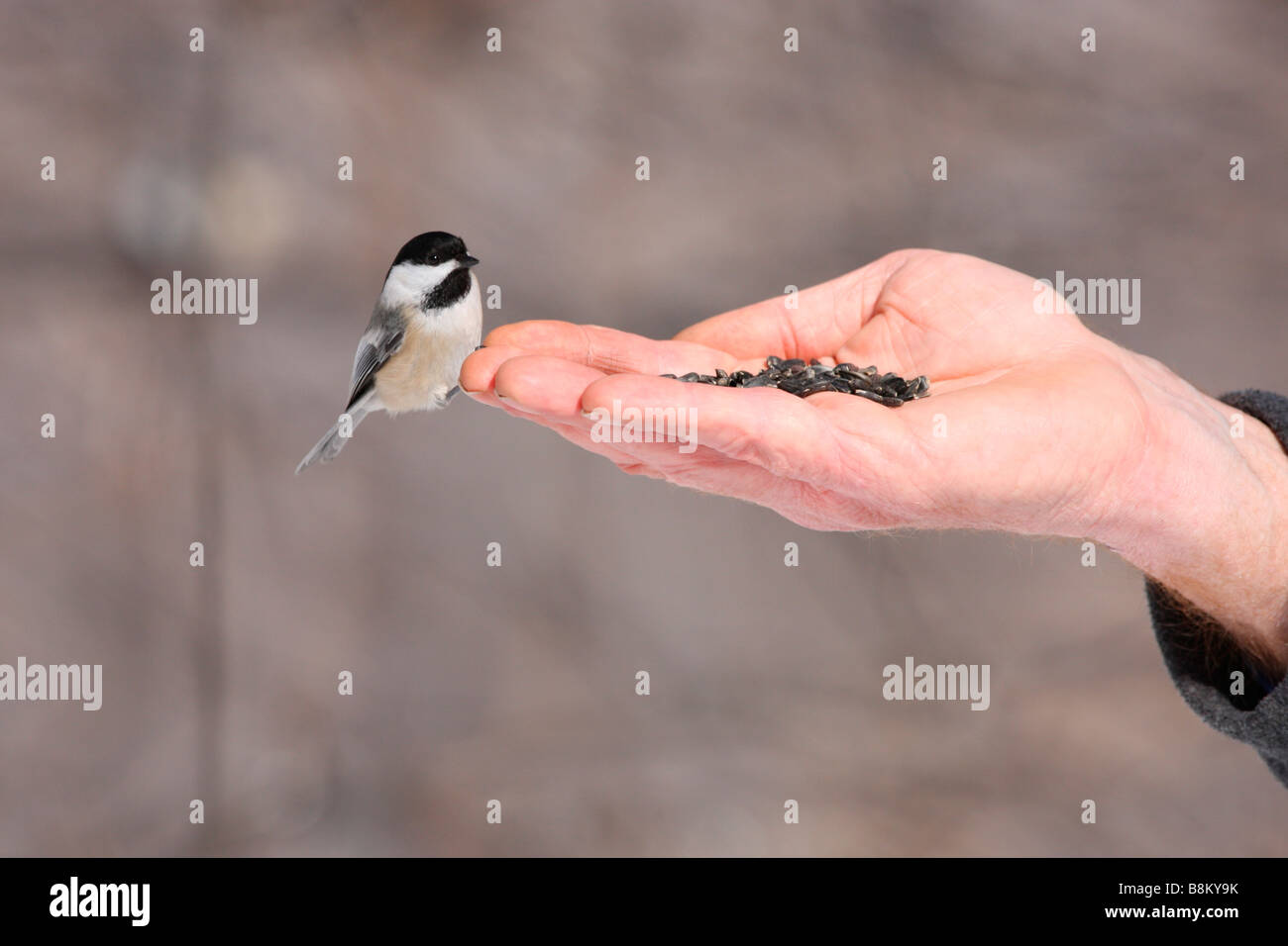 Black capped Chickadee being hand fed - Stock Image