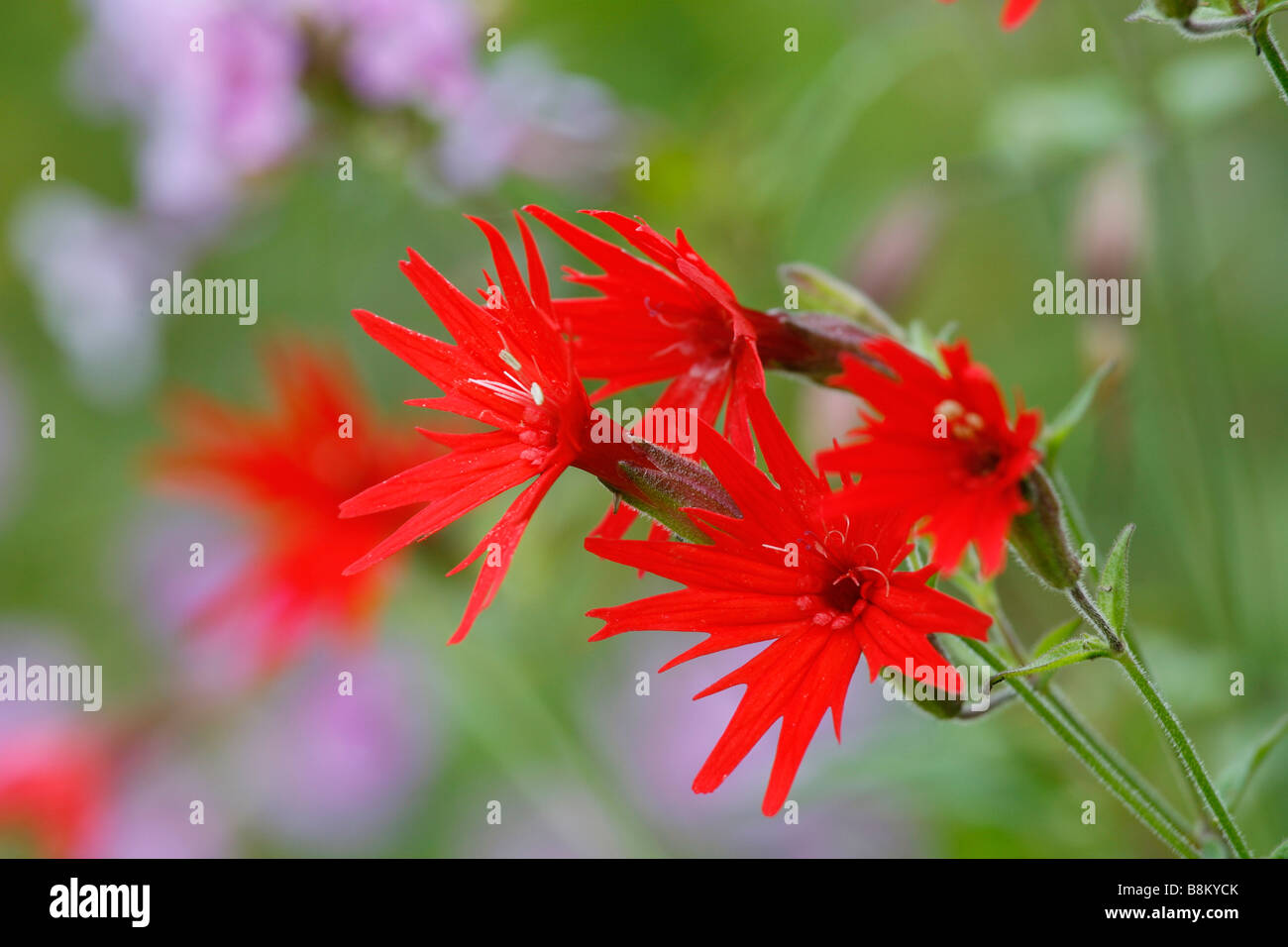 Fire Pink Flower Stock Photos Fire Pink Flower Stock Images Alamy