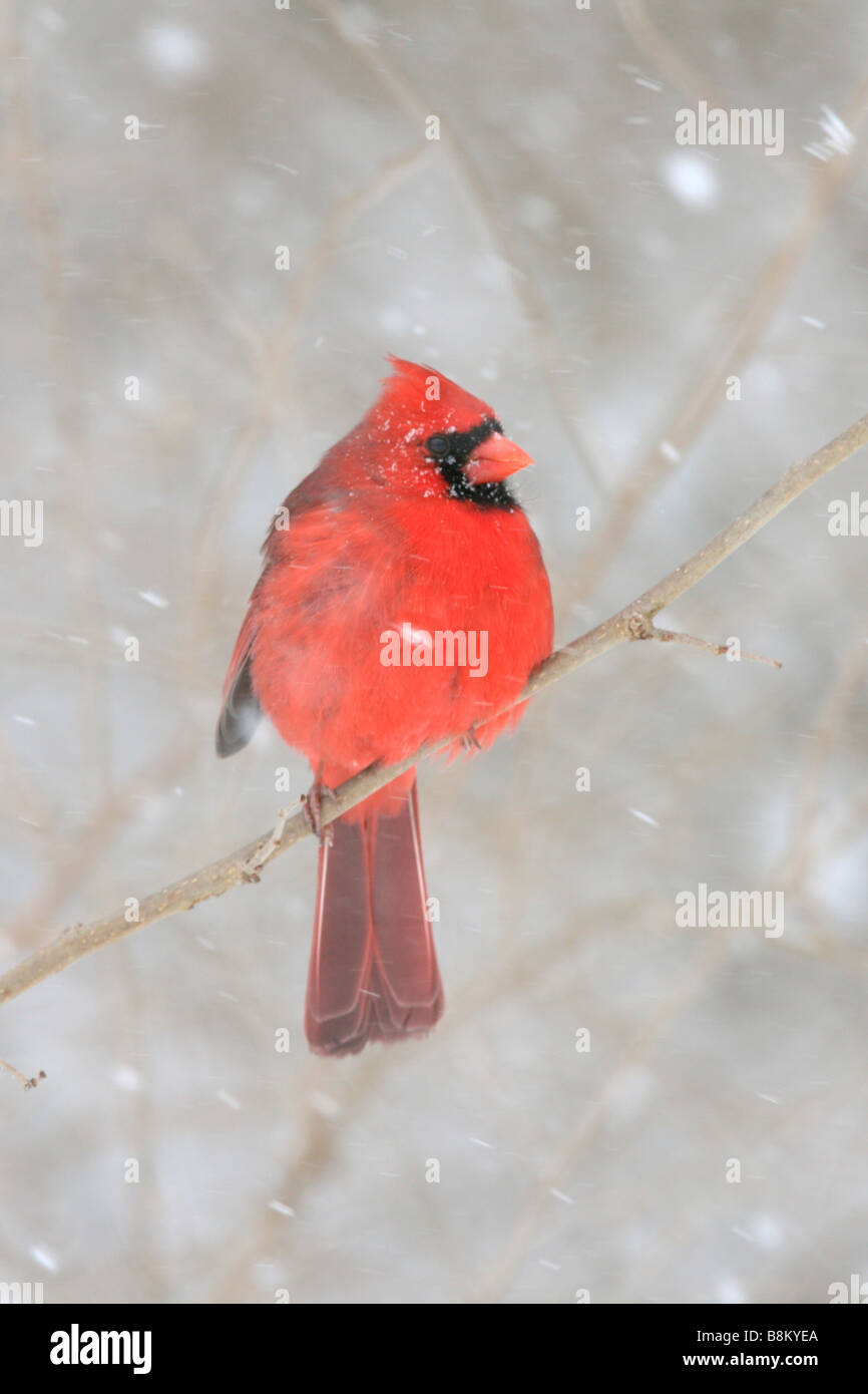 Northern Cardinal Perched in Snow - Vertical - Stock Image