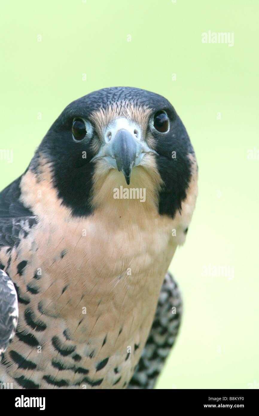 Peregrine Falcon captive - Vertical - Stock Image