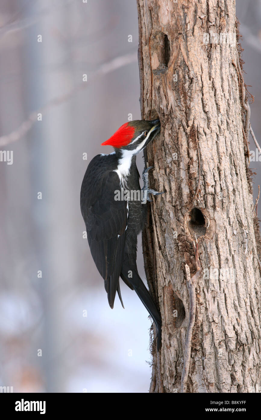 Female Pileated Woodpecker searches for food - Vertical - Stock Image