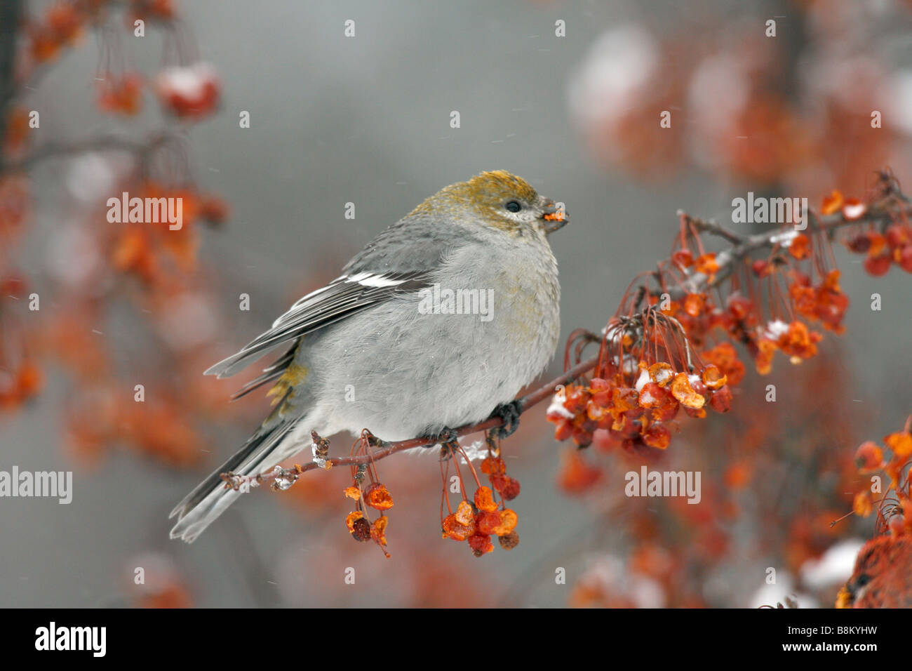 Female Pine Grosbeak Eating Crabapple Berries in Snow - Stock Image