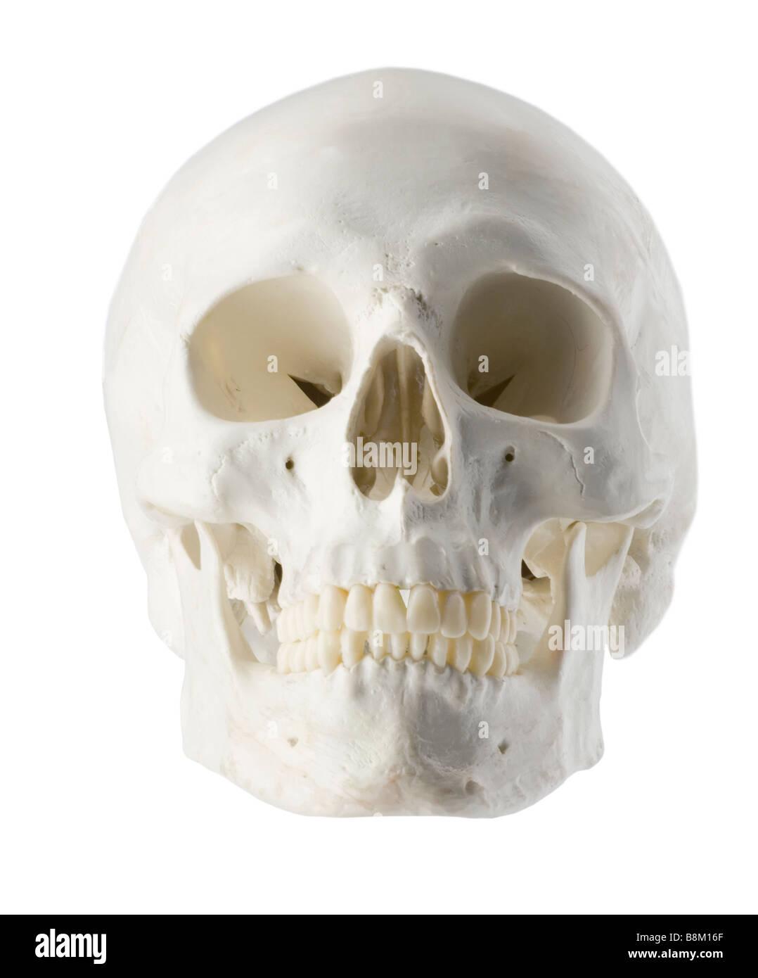 Skull, model, example,specimen,research,specimen,forensic - Stock Image