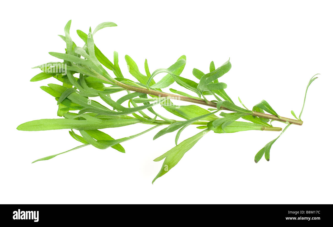 fresh tarragon herb isolated on a white background - Stock Image