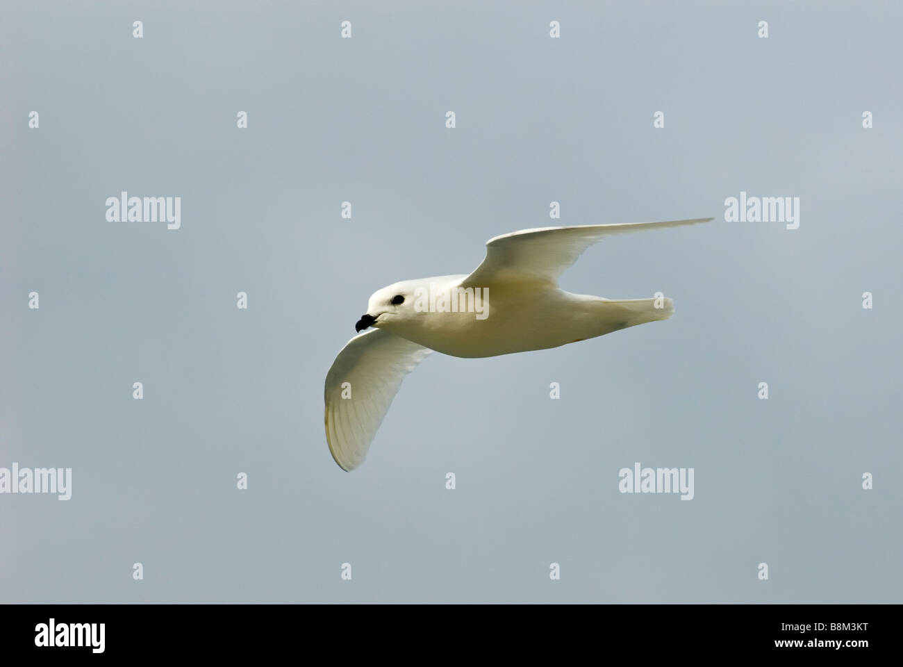 Snow petrel (Pagodroma nivea) in flight, Ross Sea, Antarctica. - Stock Image