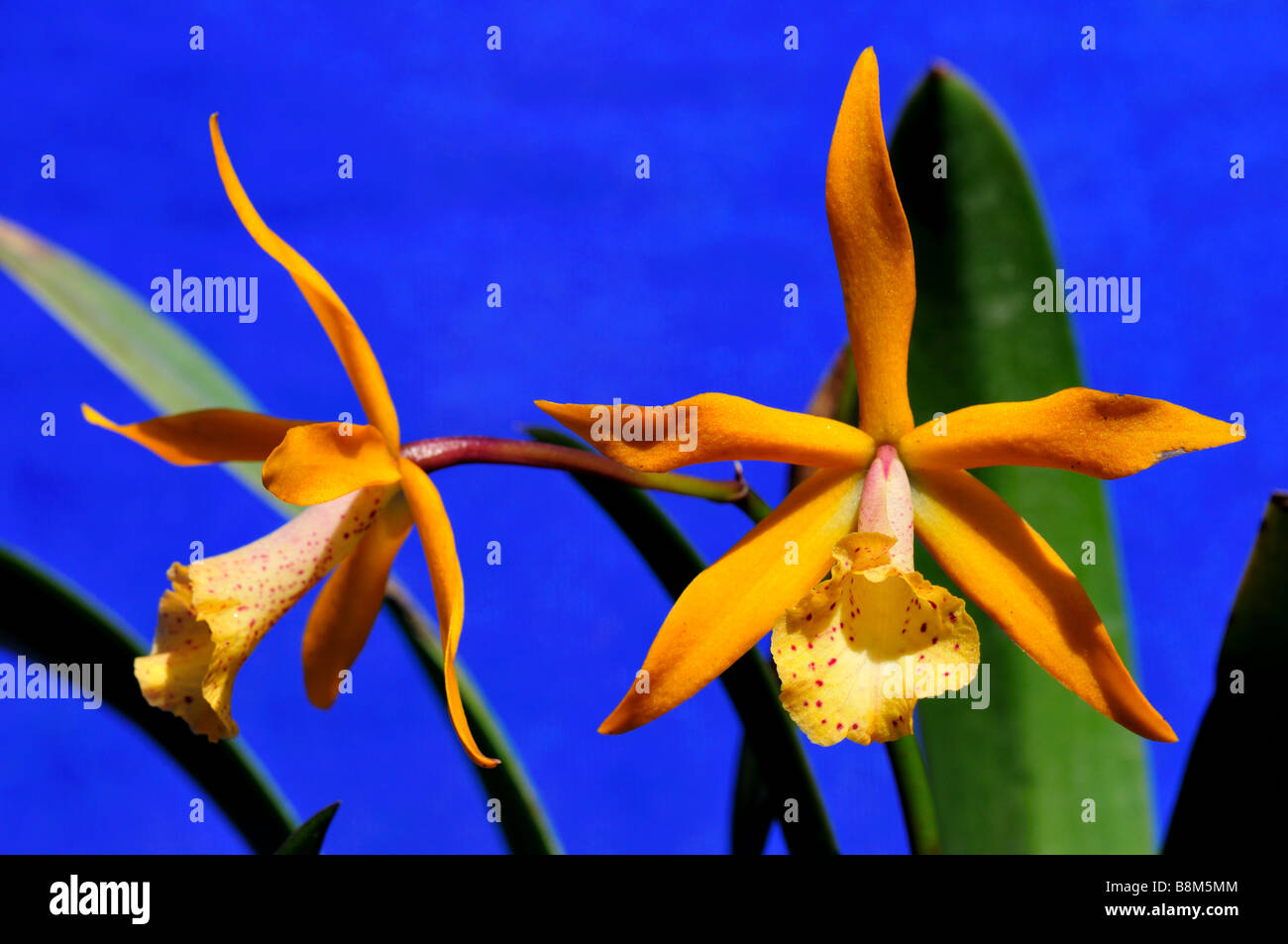 Yellow orchid flowers. - Stock Image