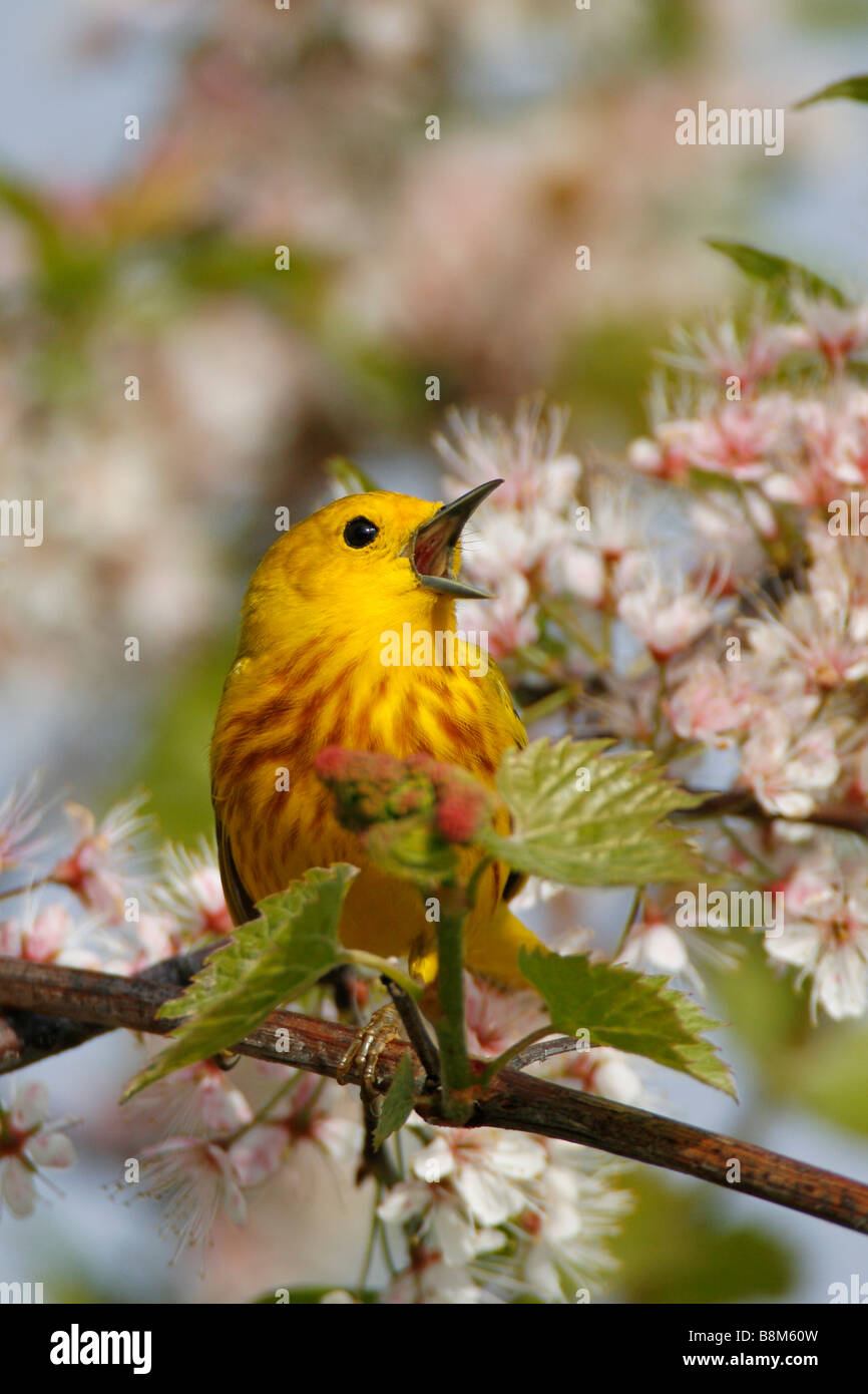 Yellow Warbler Singing Perched in Cherry Blossoms - Vertical - Stock Image