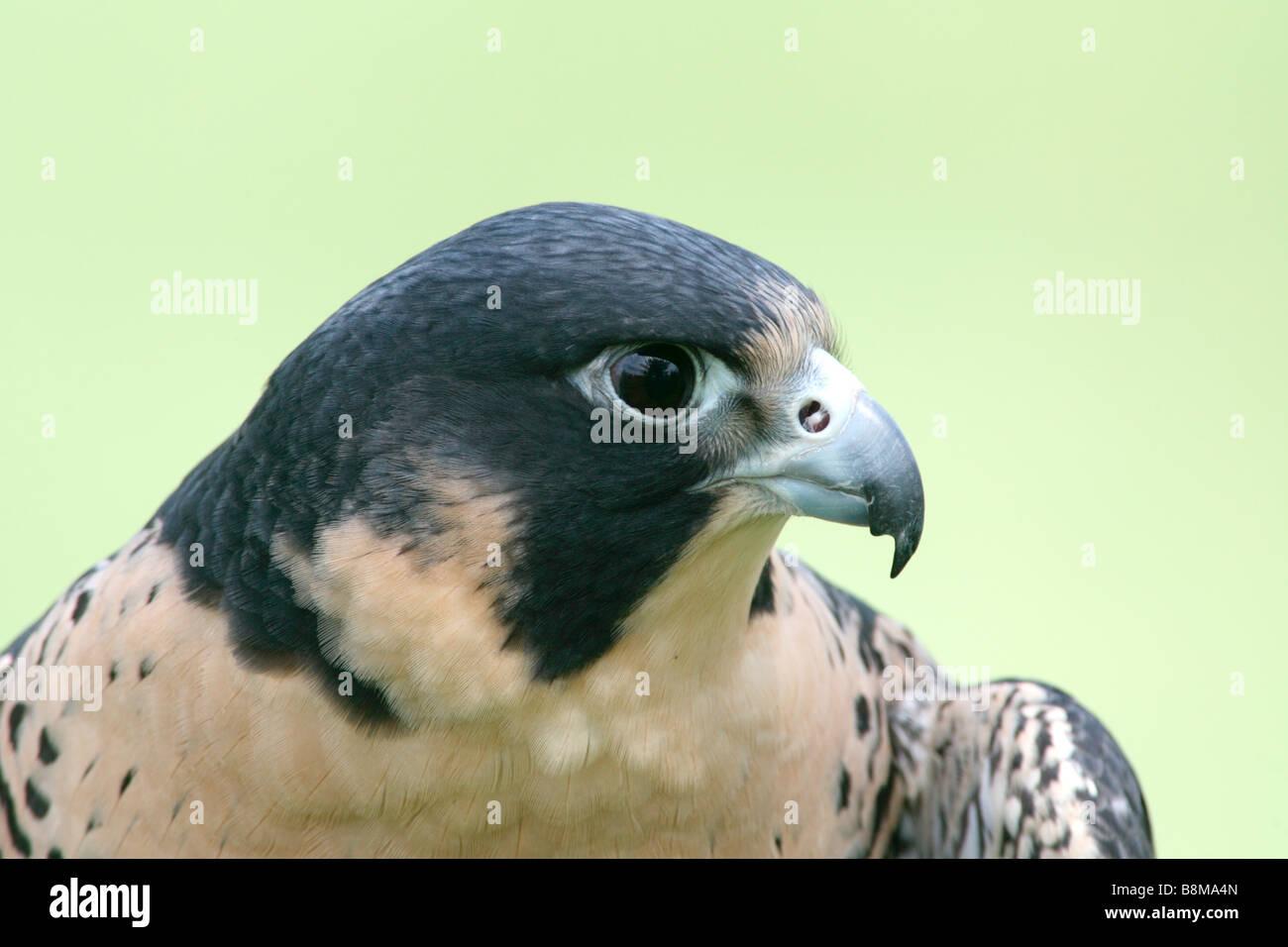 Peregrine Falcon captive - Stock Image