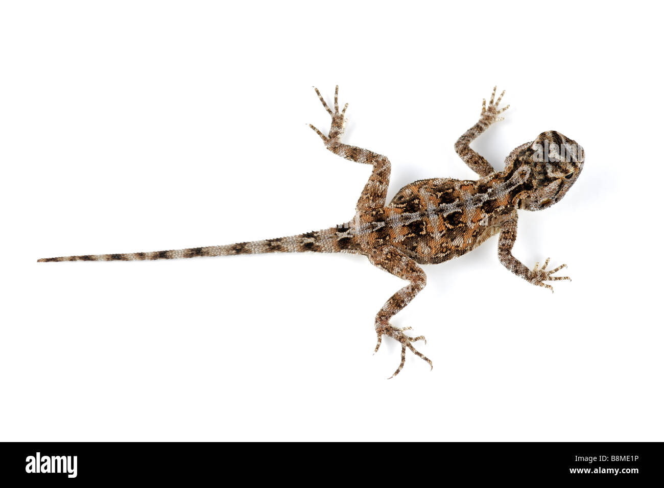 Female African ground agama (Agama aculeata) on white - Stock Image