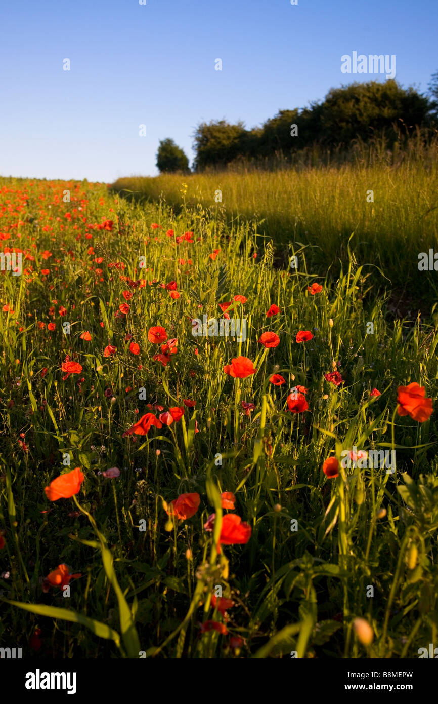 Poppy field on Summers Day in Wiltshire - Stock Image