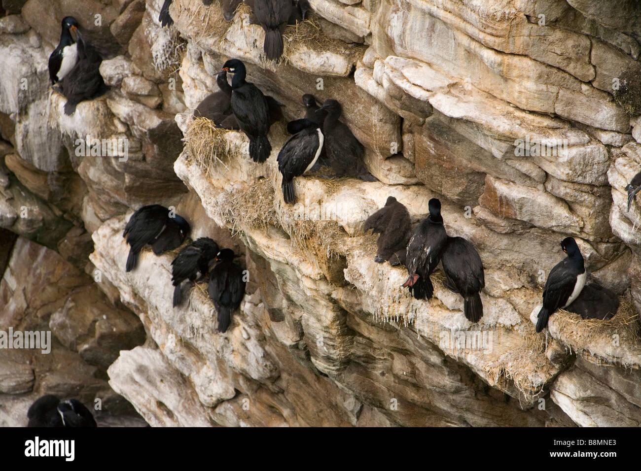 A nesting colony of Rock Shags (Phalacrocorax magellanicus) onThe Falkland Islands. - Stock Image