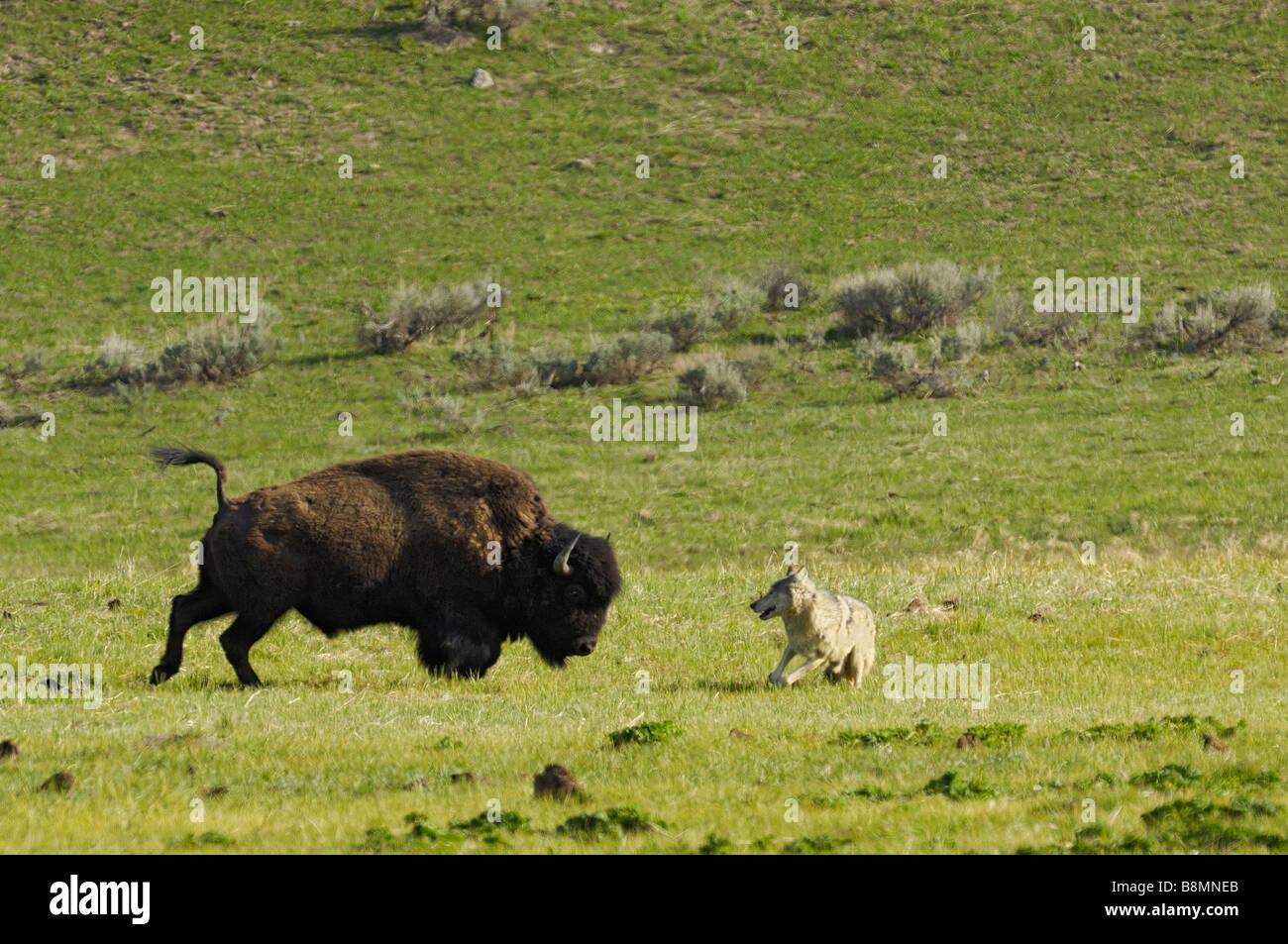 Buffalo Wolf Confrontation - Stock Image