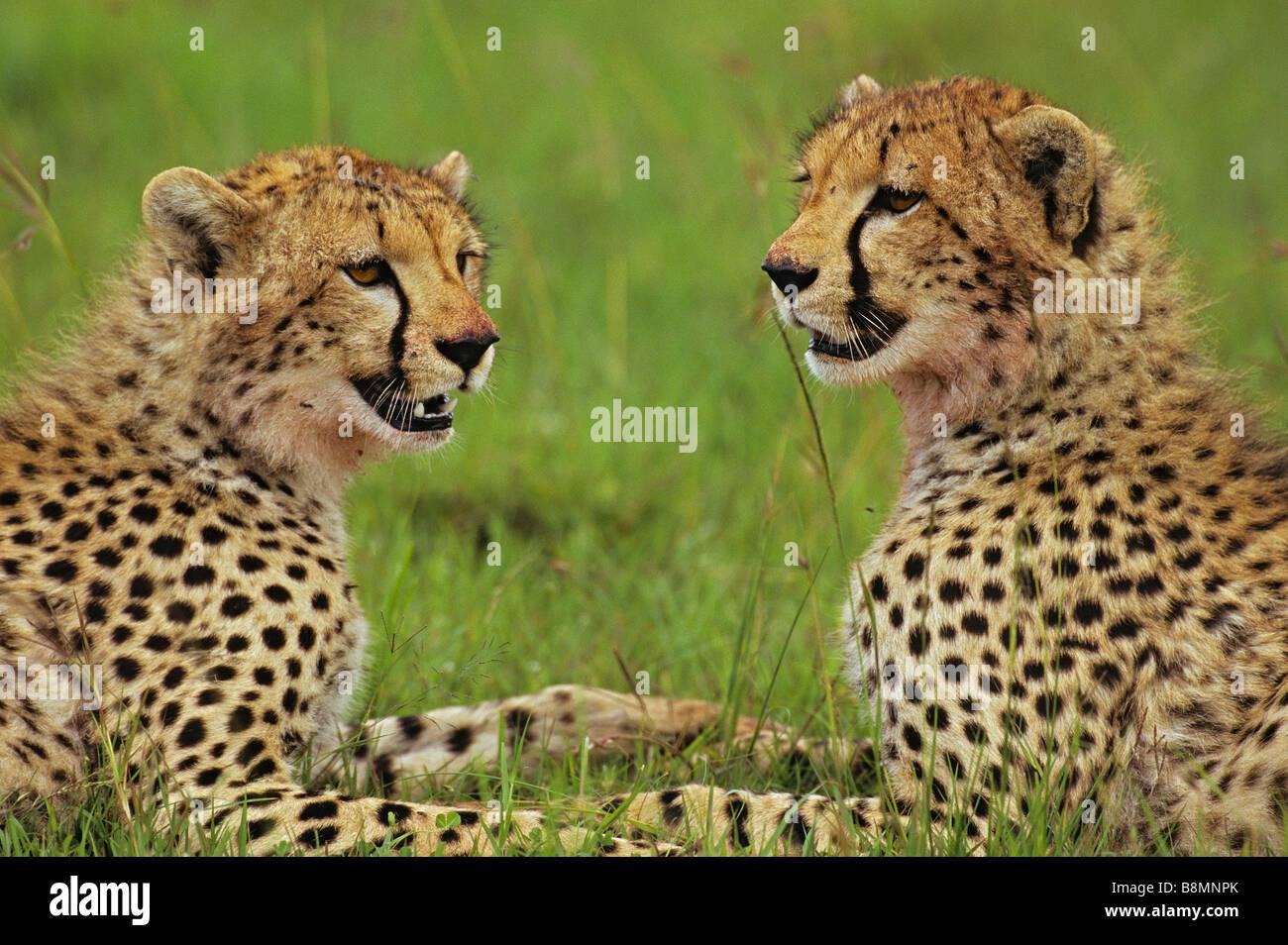 Cheetah Siblings - Stock Image