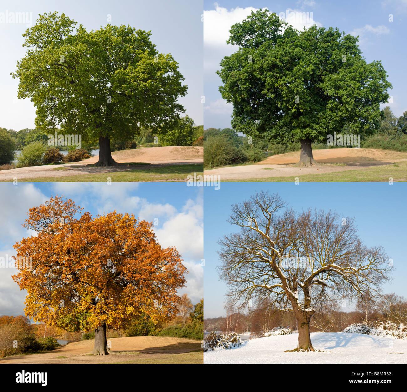 Oak tree through the seasons - Stock Image