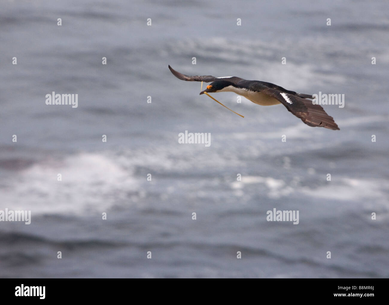 King/Imperial Shag (Phalacrocorax atriceps albiventer) flying over The Falkland Islands. - Stock Image