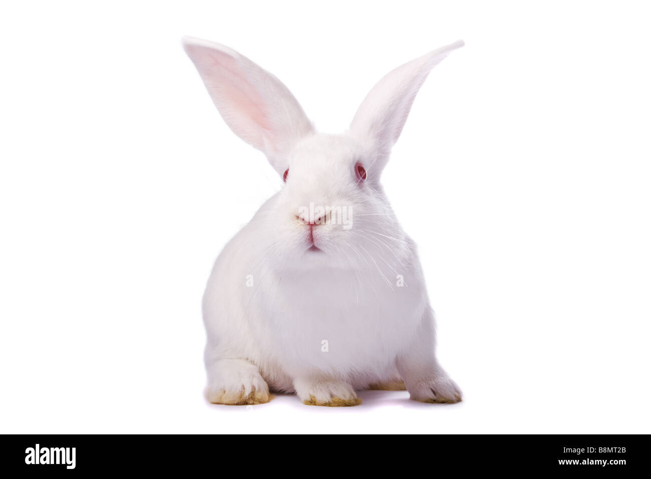 Curious albino rabbit isolated on white background /// bunny Easter cutout cut out red eyes curious sitting cute - Stock Image