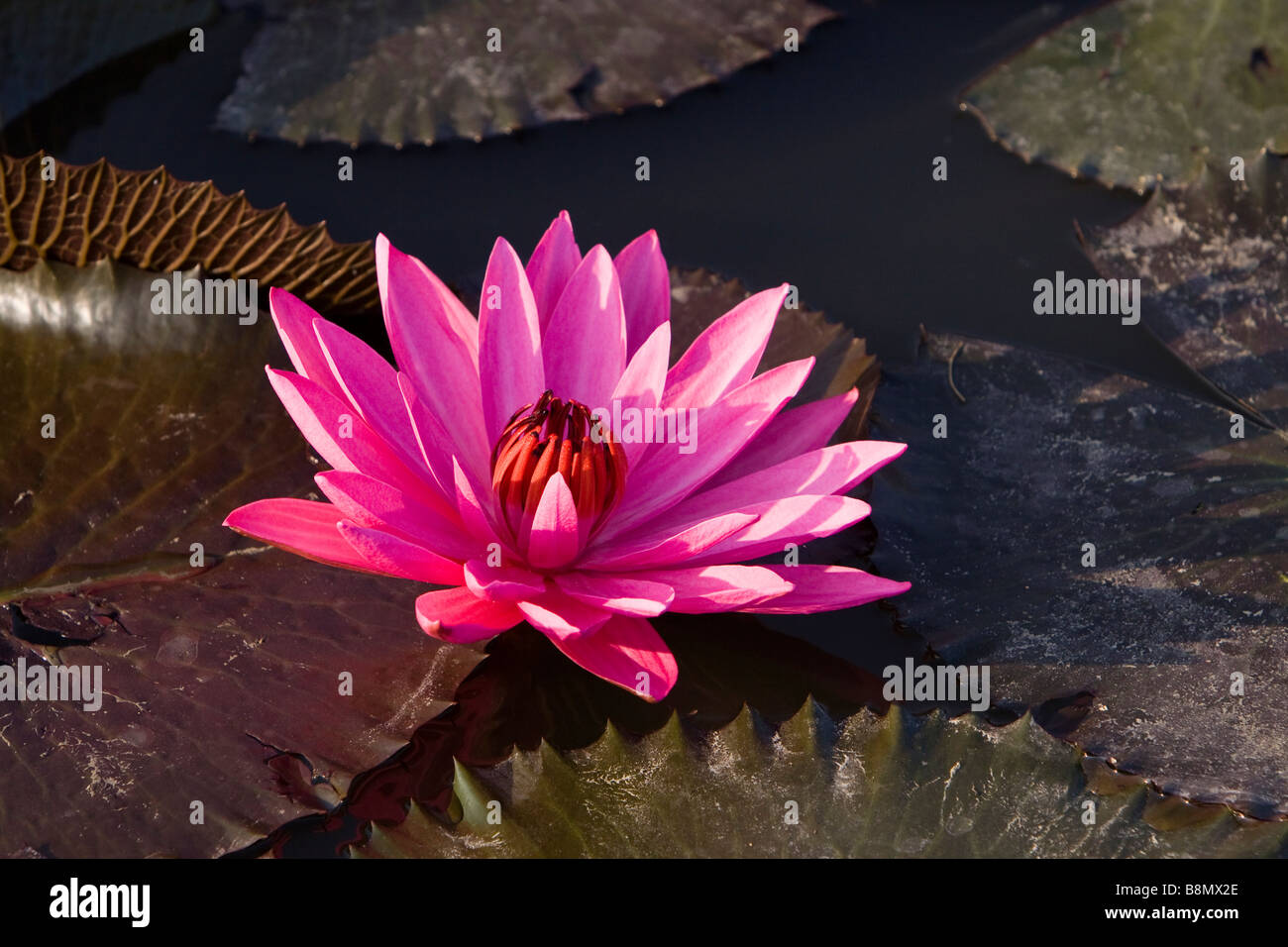 Indian Lilly Stock Photos Indian Lilly Stock Images Alamy