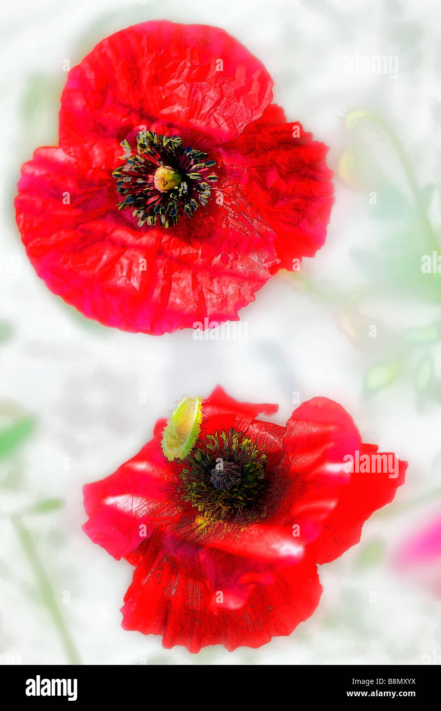 Digitally Enhanced image of two red shirley poppy flowers - Stock Image